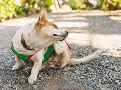 CГіmo aliviar la comezГіn en los perros