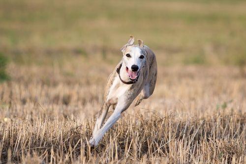 Los mejores perros para correr con