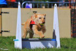 deporte del perro de Flyball