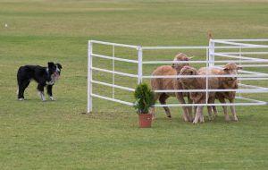 Ensayos perro pastor con perros