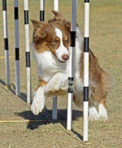 Entrenamiento de la agilidad con perros