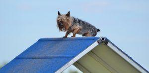 Ensayos Terrier para perros pequeГ±os deportivo
