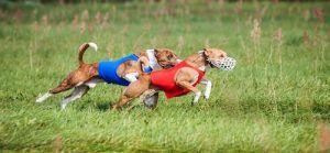 SeГ±uelo que cursa perros atlГ©ticos