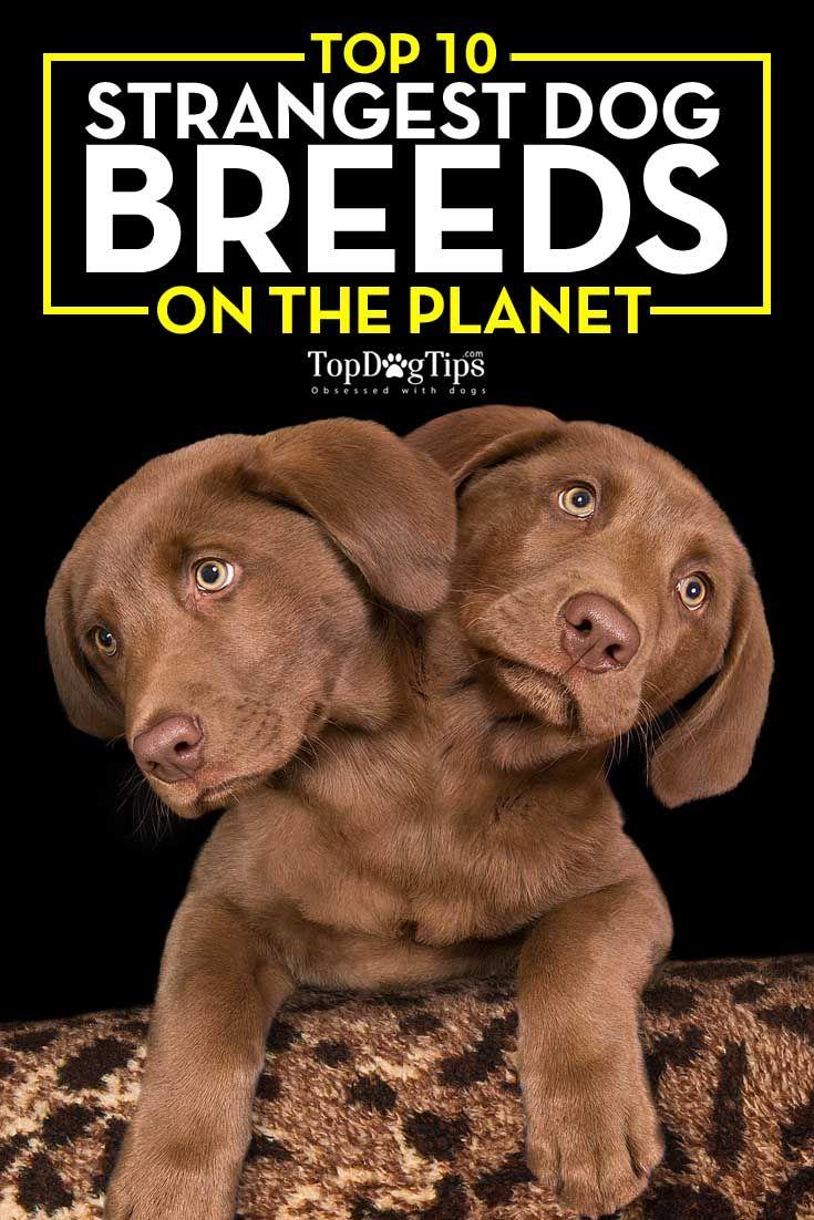 Top Strangest razas de perros en el Planeta
