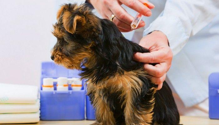 Las vacunas que los perros pueden ser alérgicos a