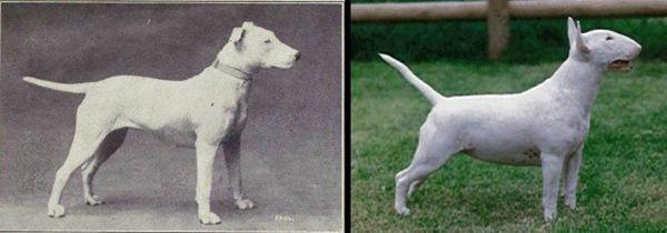 100 Años de crianza arruinados estas 10 razas de perros más populares