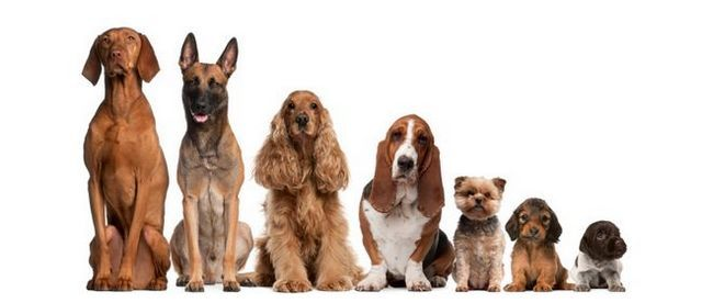 ¿Cómo 100 años de crianza en ruinas diez perros populares