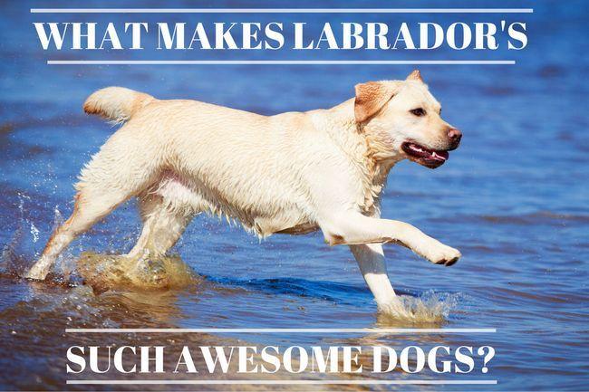 14 Razones por las labradores son perros tan impresionantes