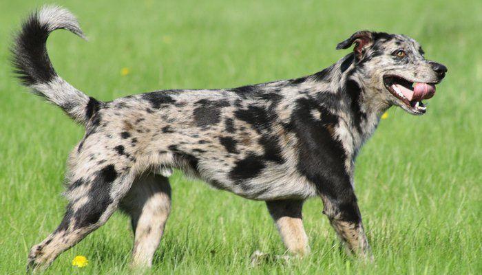 Bajo Costo razas del perro