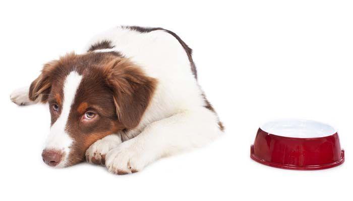 Las alergias del alimento de perro