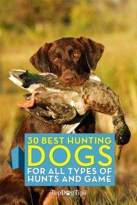 Top mejores perros de caza para todo tipo de caza