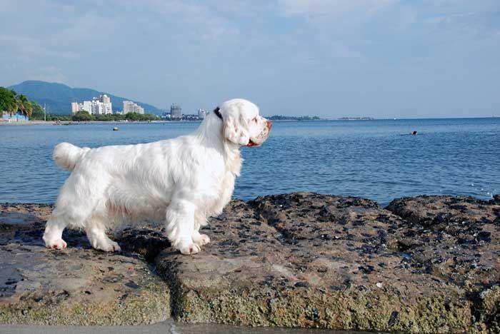 Clumber - El mejor perro de caza