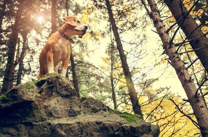 Beagle - El mejor perro de caza