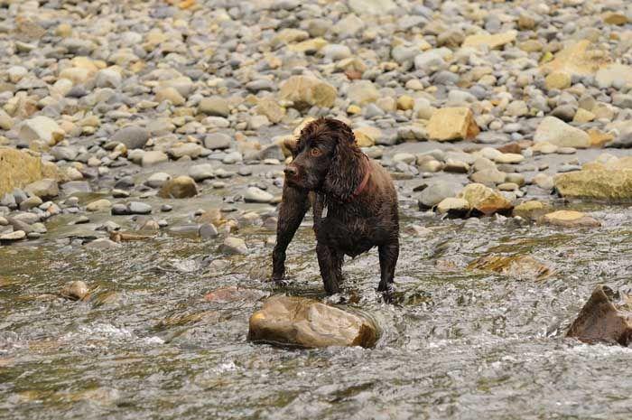 Boykin Spaniel - El mejor perro de caza