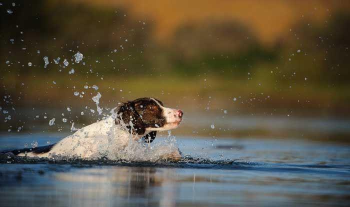 Aguas de BretaГ±a - El mejor perro de caza