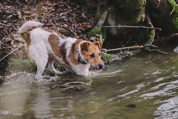 Fox terrier del alambre - Mejor Perro de caza