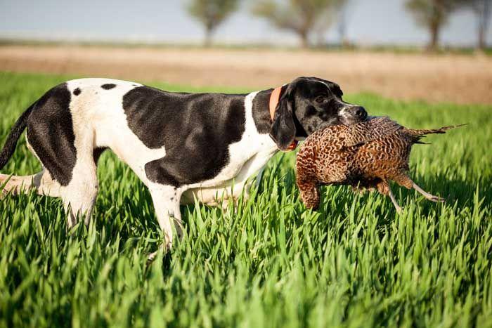 InglГ©s Puntero - El mejor perro de caza