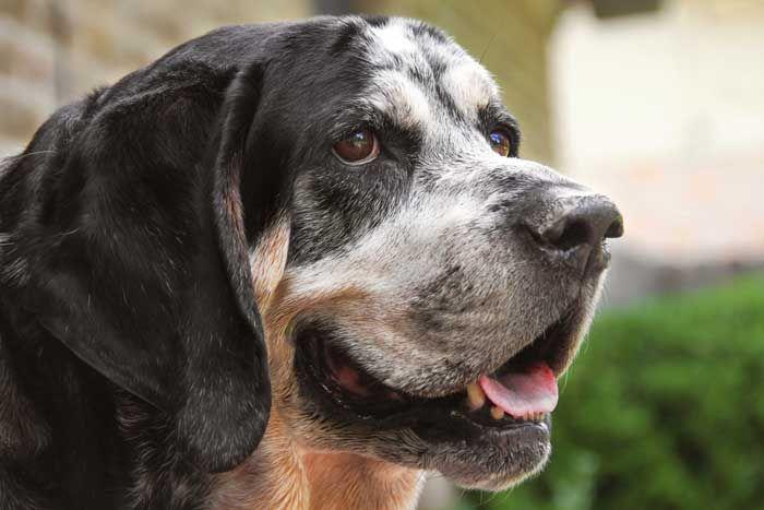 Coonhound - El mejor perro de caza
