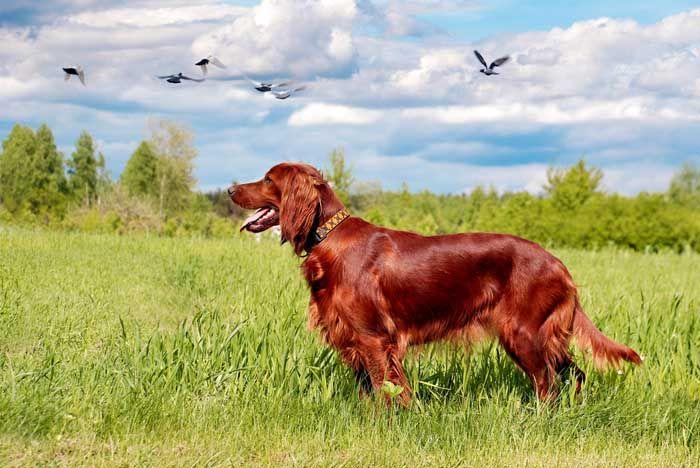 Irish Setter - El mejor perro de caza