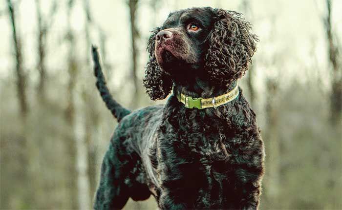 Aguas de agua americana - El mejor perro de caza
