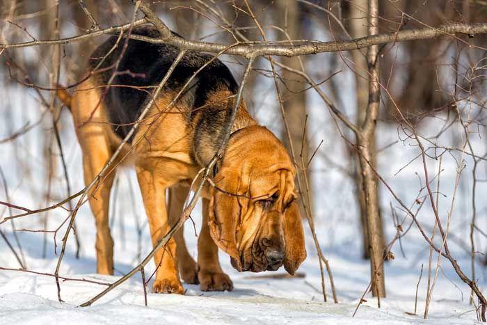 Sabueso - El mejor perro de caza