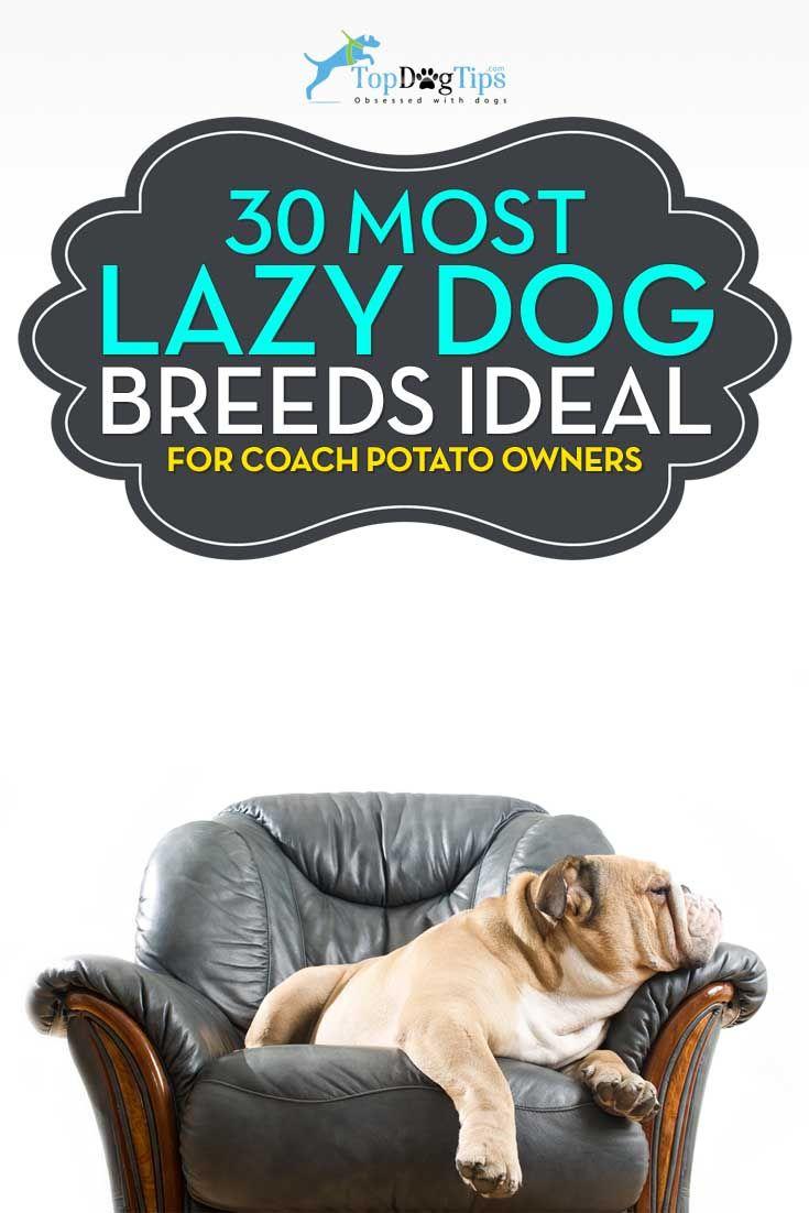 La mayoría de las razas de perro perezoso perfecto para una patata propietario Couch