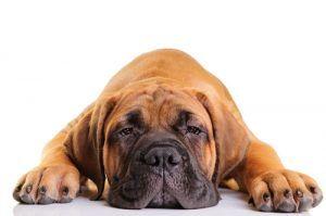 Razas de perro perezoso