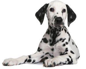 La mayoría de las razas de perros más populares