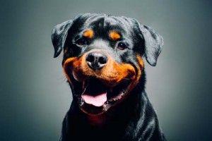 rottweiler feliz sonriendo