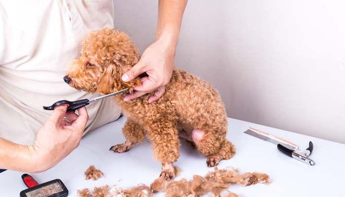 CuГЎles son las mejores Clippers para perros silenciosos o con tijeras manuales para Grooming libre de ruidos de perros