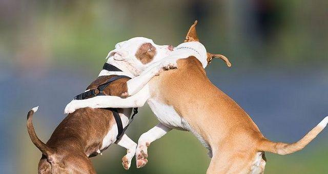 5 Claves para el manejo de un perro dominante