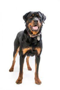 Rottweiler - Los estereotipos raza de perro mГЎs comГєn Desenmascarada