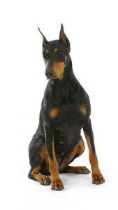 Doberman Pinscher - Los estereotipos raza de perro mГЎs comГєn Desenmascarada