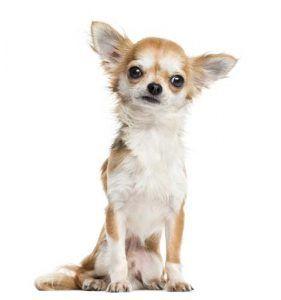 Chihuahua - Los estereotipos raza de perro mГЎs comГєn Desenmascarada
