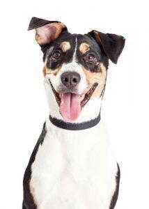 Mutts - mayorГa de los estereotipos raza del perro ComГєn Desenmascarada