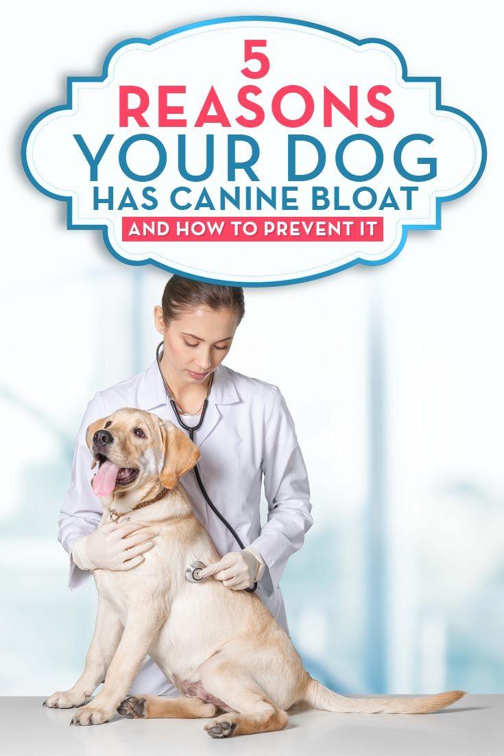 Razones que su perro tiene colmillo hincha y cómo prevenirlo