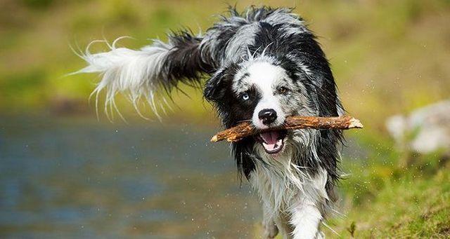 6 Pasos para enseñar a su perro a buscar