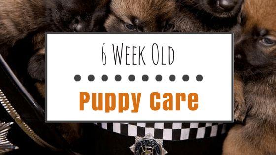 6 Semanas de edad cachorro de atención: la formación y suministros esenciales