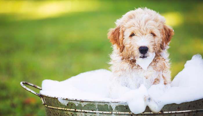 baño del perro para reducir la excreción en los animales domésticos