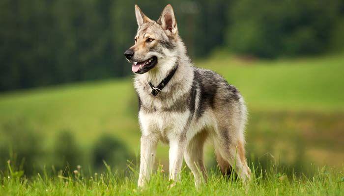 Wolf-Al igual que las razas del perro - Conocer la diferencia y elegir sabiamente 1