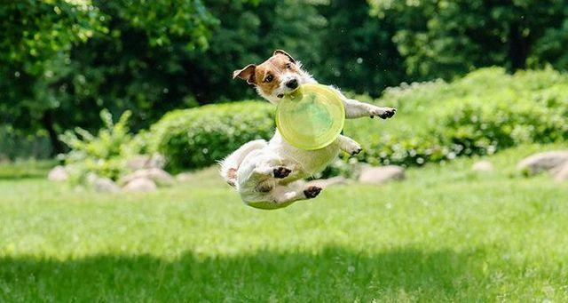 Una toma de hiper russell terrier