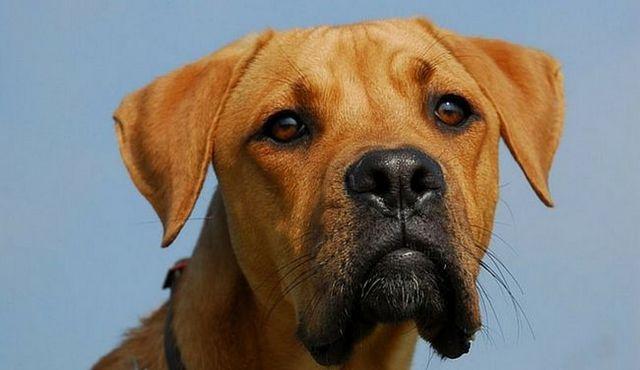 Un perro poderoso y tantos: un vistazo a la mezcla alemana del pastor pitbull