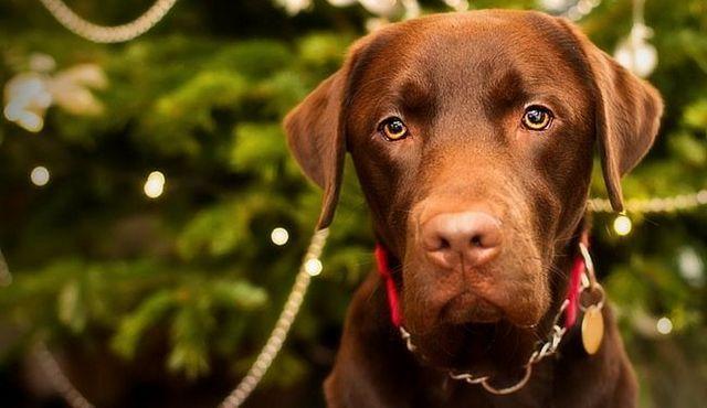 Un juguetón, perro leal: un vistazo a la mezcla del laboratorio del boxeador