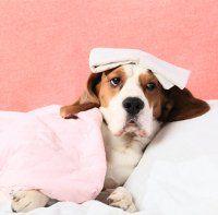 el tratamiento de la diarrea en el cachorro con hom