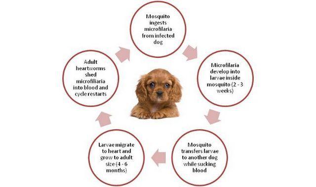 Ciclo de vida del parásito del corazón en los perros