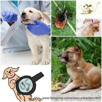 Acerca de los parásitos del perrito