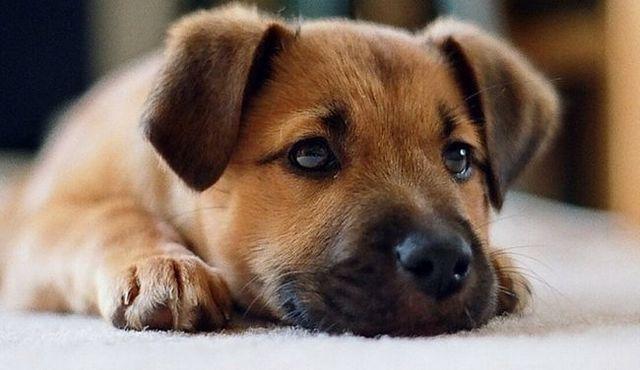 La adopción de un cachorro: lo que necesita saber