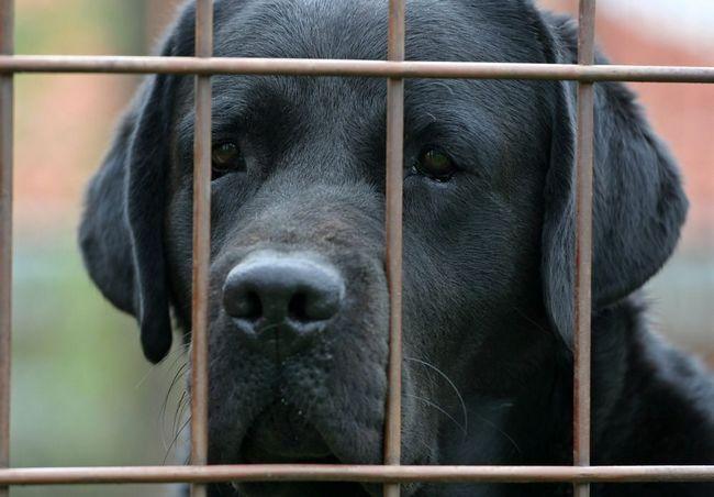 Una cara labrador negro detrás de una valla de malla de alambre