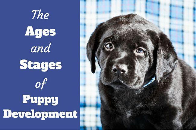 Edades y etapas de desarrollo del perrito semana por semana