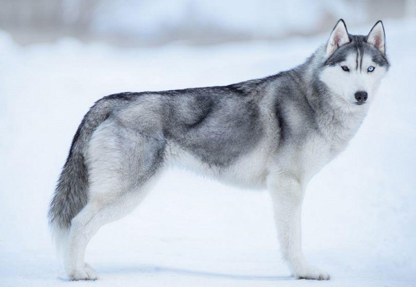 Alaska del perro de razas: el espíritu del norte en su compañero canino
